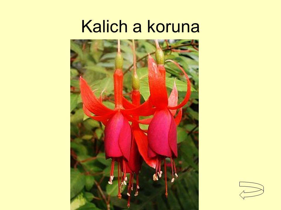 Kalich a koruna fuchsie