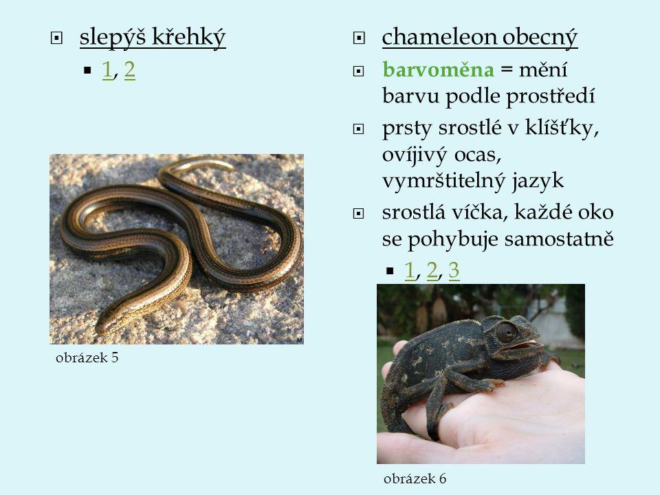 slepýš křehký chameleon obecný 1, 2