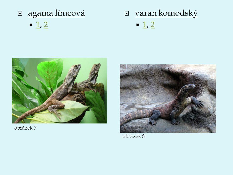 agama límcová 1, 2 varan komodský 1, 2 obrázek 7 obrázek 8