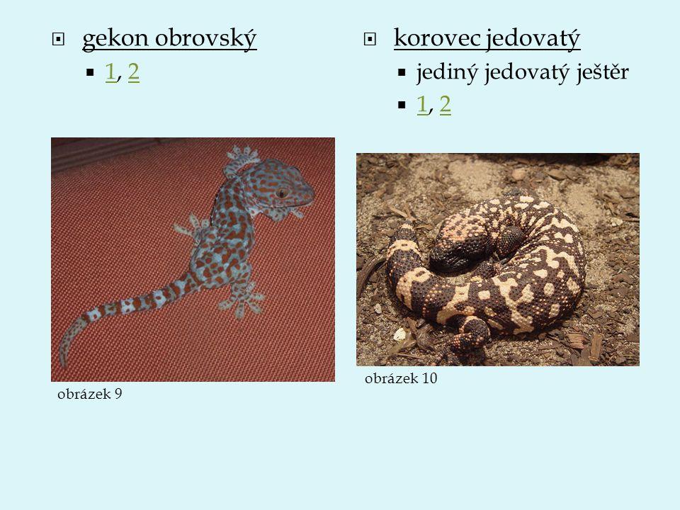 gekon obrovský korovec jedovatý 1, 2 jediný jedovatý ještěr 1, 2