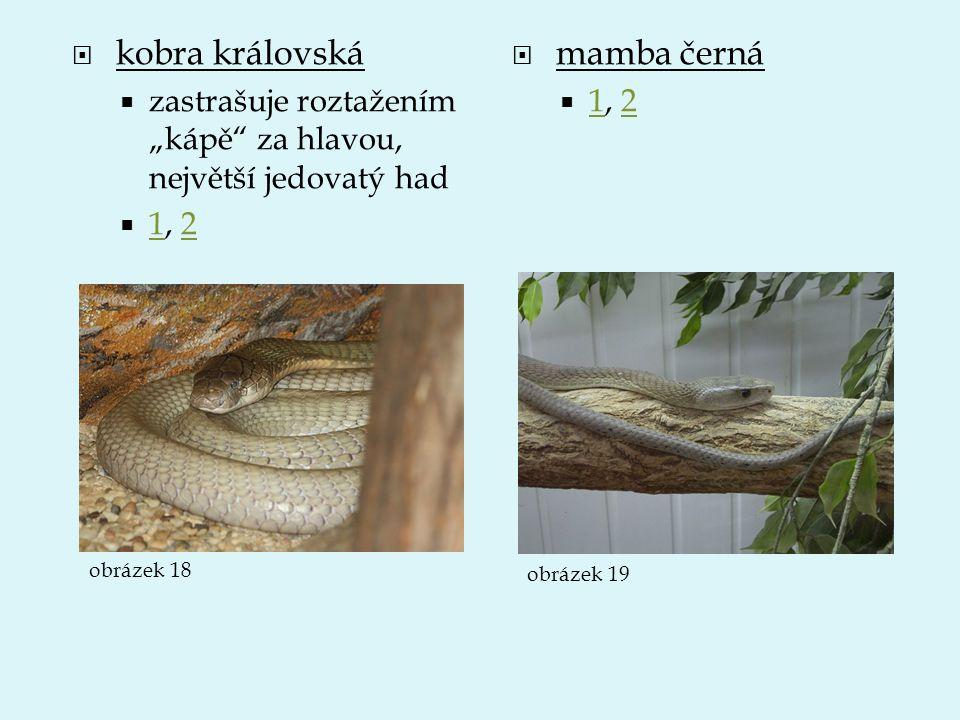 kobra královská mamba černá
