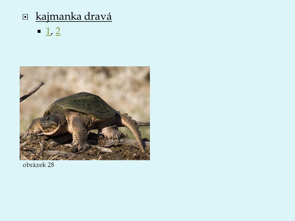 kajmanka dravá 1, 2 obrázek 28