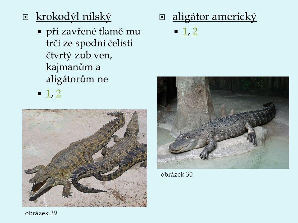 krokodýl nilský aligátor americký