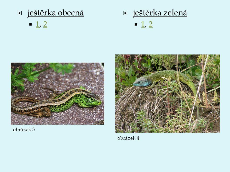 ještěrka obecná 1, 2 ještěrka zelená 1, 2 obrázek 3 obrázek 4