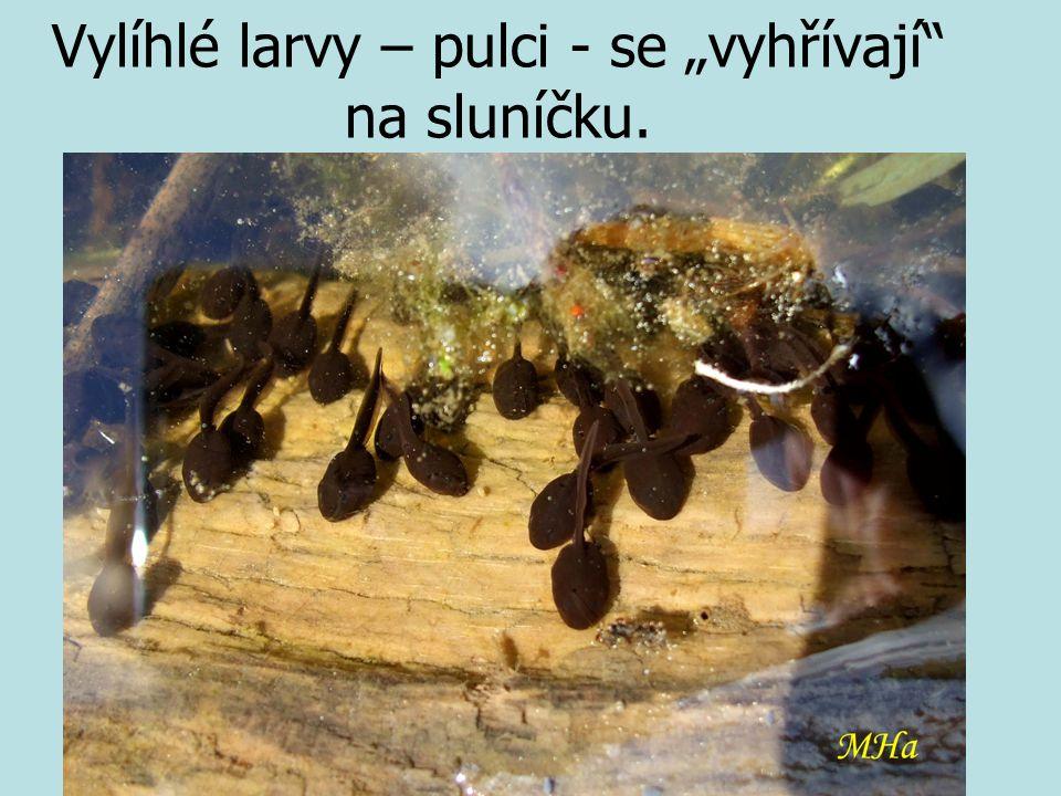 """Vylíhlé larvy – pulci - se """"vyhřívají na sluníčku."""
