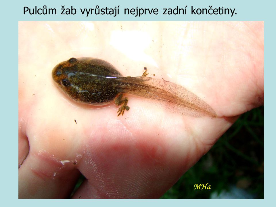 Pulcům žab vyrůstají nejprve zadní končetiny.