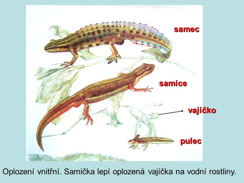 samec samice vajíčko pulec Oplození vnitřní. Samička lepí oplozená vajíčka na vodní rostliny.