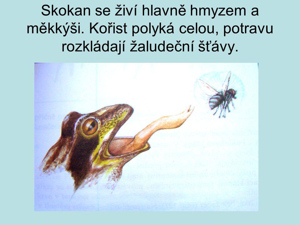 Skokan se živí hlavně hmyzem a měkkýši
