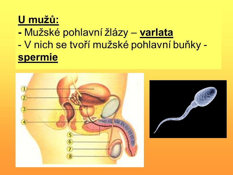 U mužů: - Mužské pohlavní žlázy – varlata - V nich se tvoří mužské pohlavní buňky - spermie
