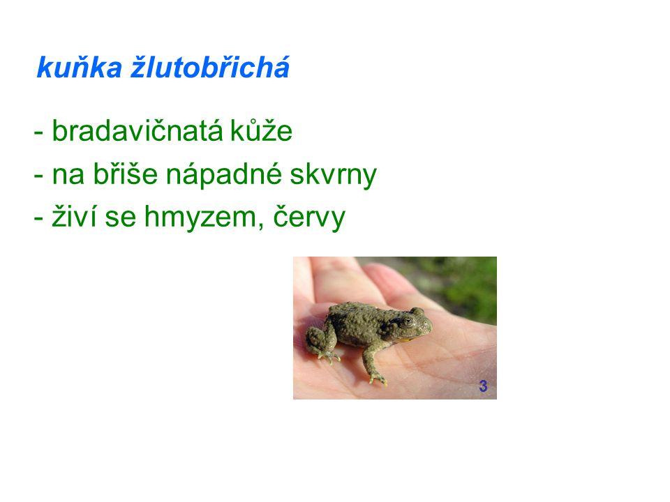 - na břiše nápadné skvrny - živí se hmyzem, červy