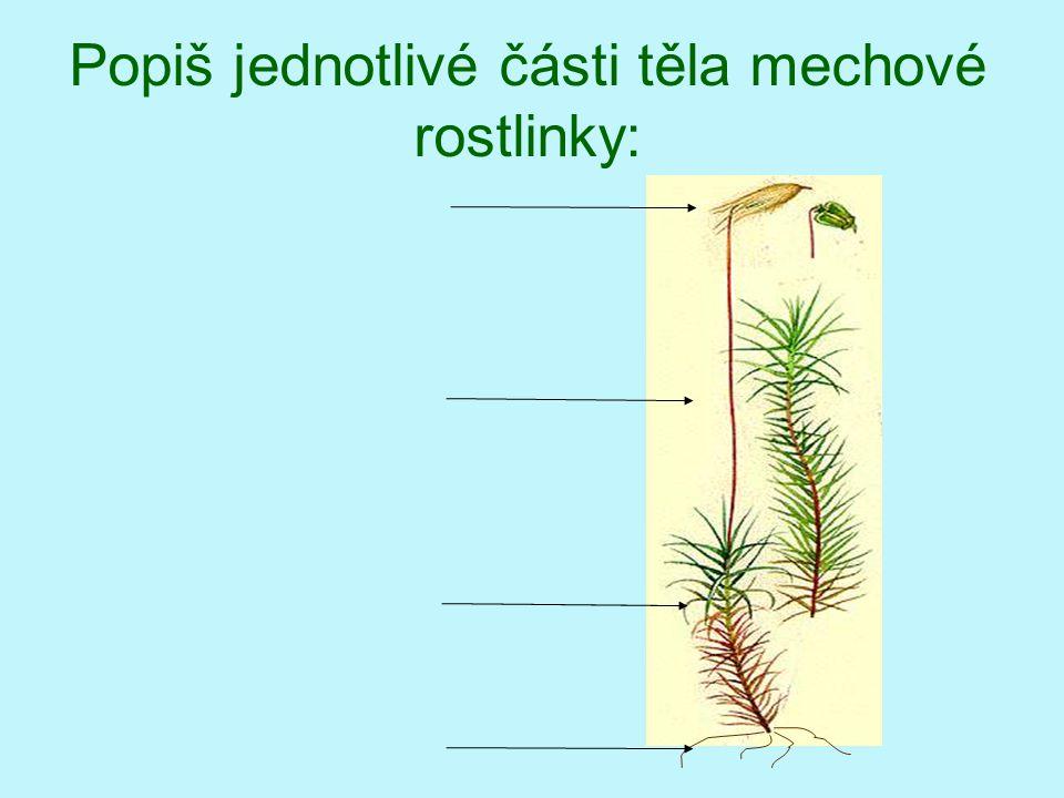 Popiš jednotlivé části těla mechové rostlinky: