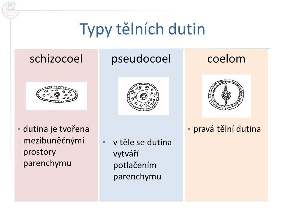 Typy tělních dutin schizocoel pseudocoel coelom