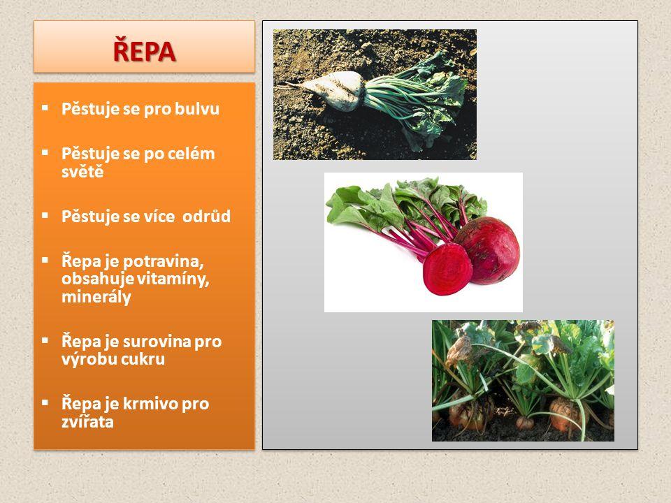 ŘEPA Pěstuje se pro bulvu Pěstuje se po celém světě