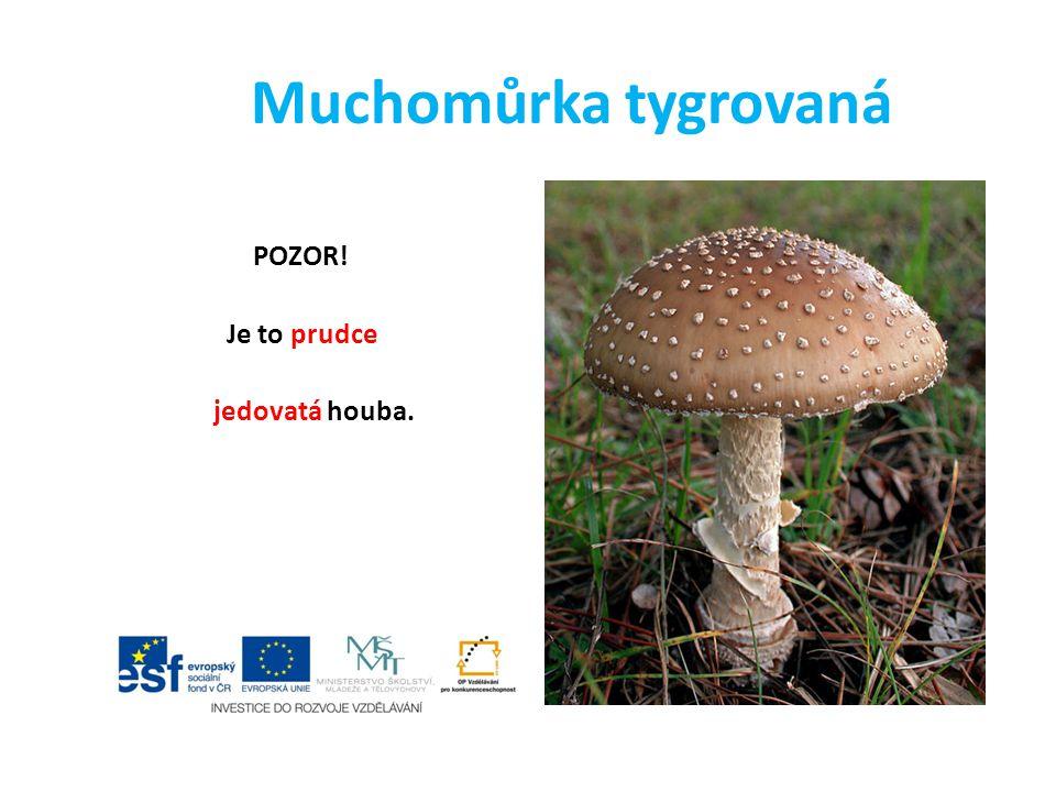 Muchomůrka tygrovaná POZOR! Je to prudce jedovatá houba.