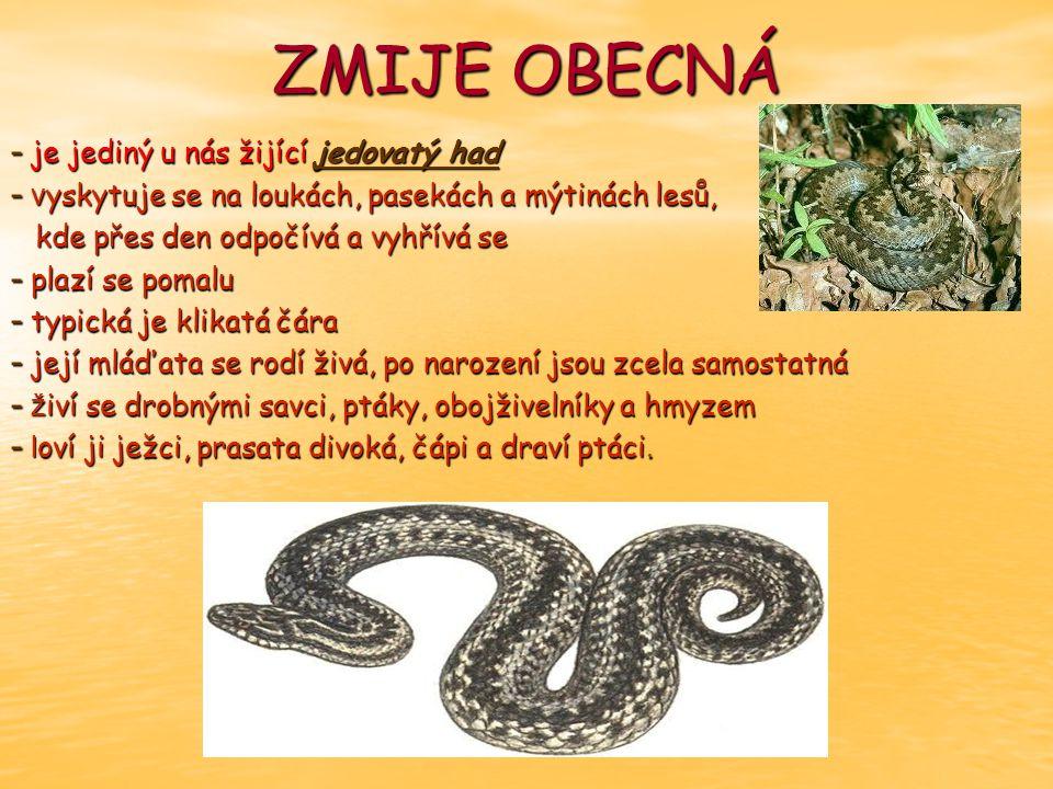 ZMIJE OBECNÁ je jediný u nás žijící jedovatý had