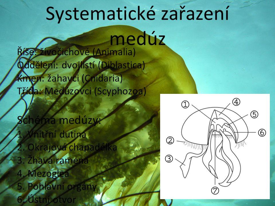 Systematické zařazení medúz