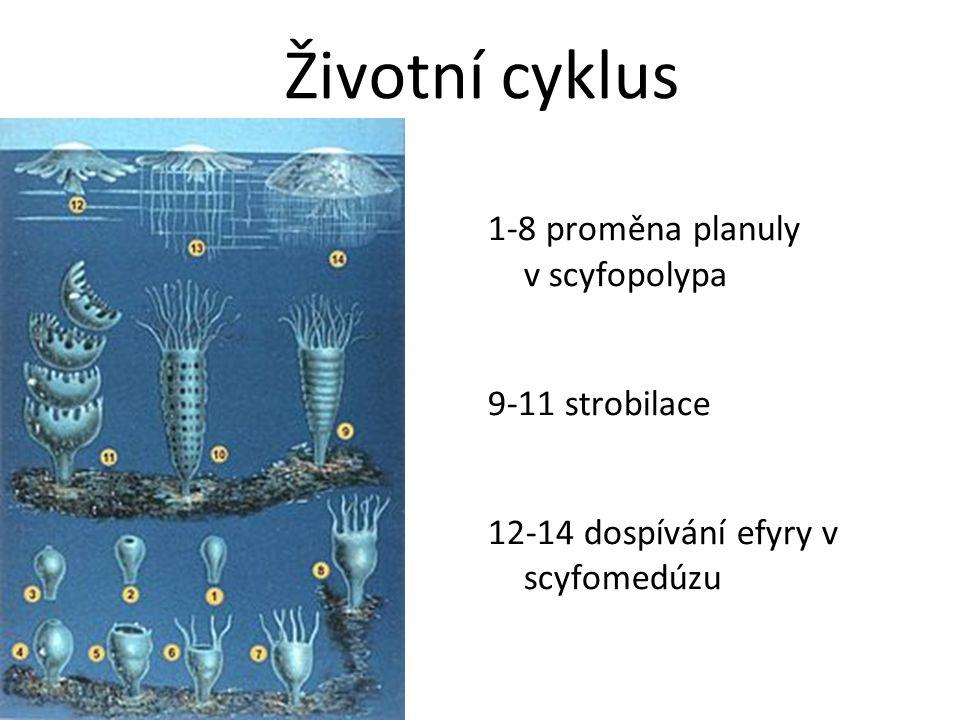 1-8 proměna planuly v scyfopolypa