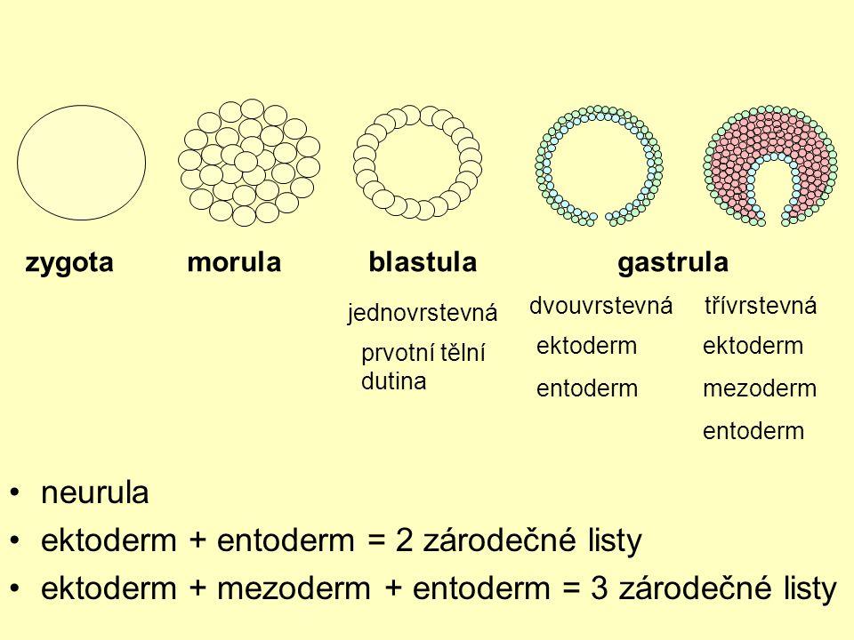 ektoderm + entoderm = 2 zárodečné listy