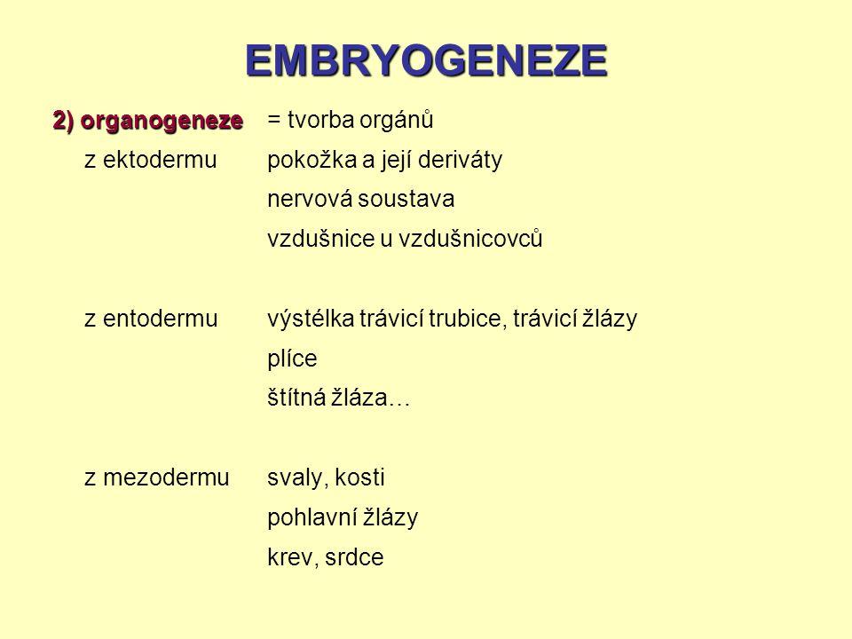 EMBRYOGENEZE 2) organogeneze z ektodermu z entodermu z mezodermu