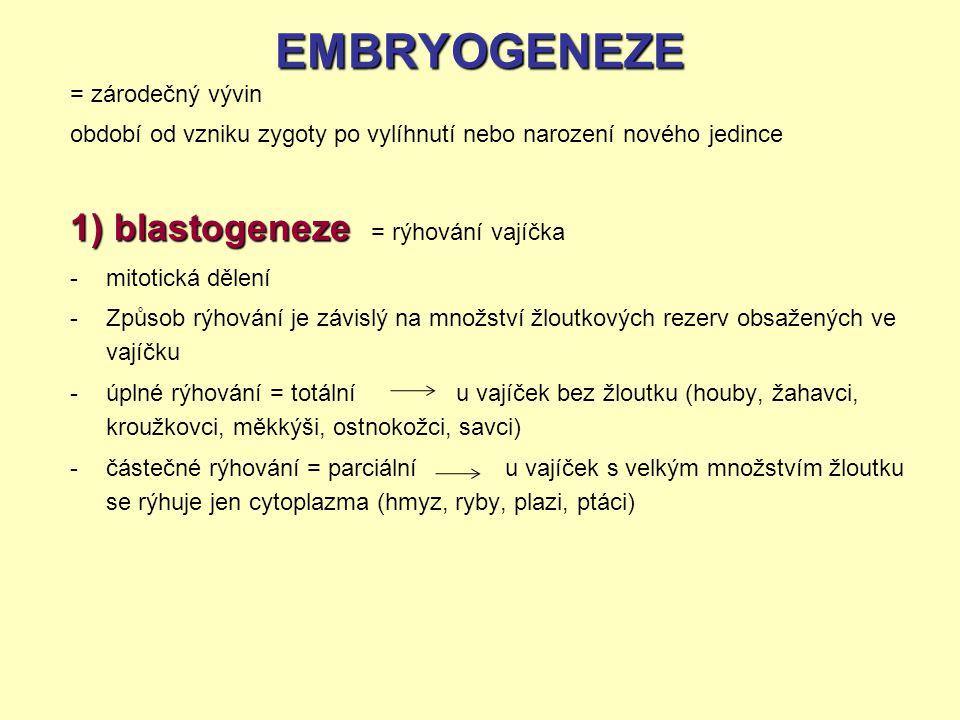 EMBRYOGENEZE 1) blastogeneze = rýhování vajíčka = zárodečný vývin