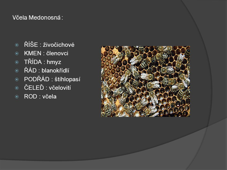 Včela Medonosná : ŘÍŠE : živočichové KMEN : členovci TŘÍDA : hmyz