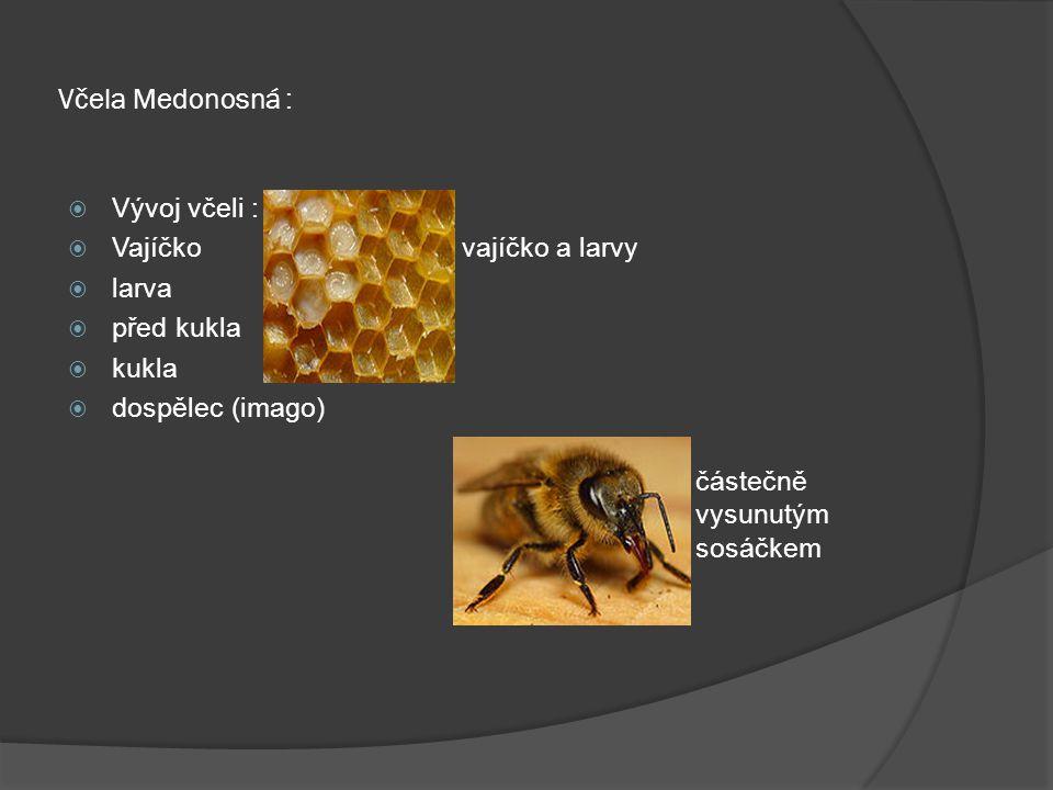 Včela Medonosná : Vývoj včeli : Vajíčko vajíčko a larvy larva