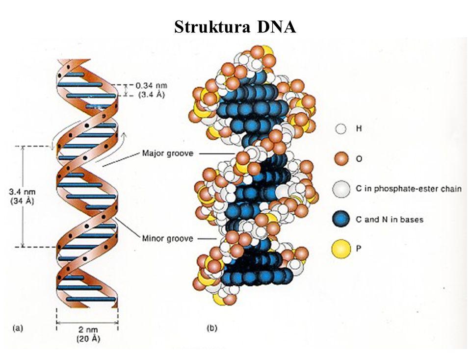Struktura DNA