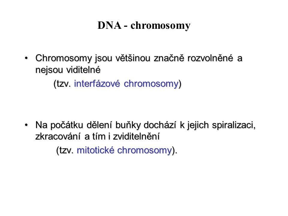 DNA - chromosomy Chromosomy jsou většinou značně rozvolněné a nejsou viditelné. (tzv. interfázové chromosomy)