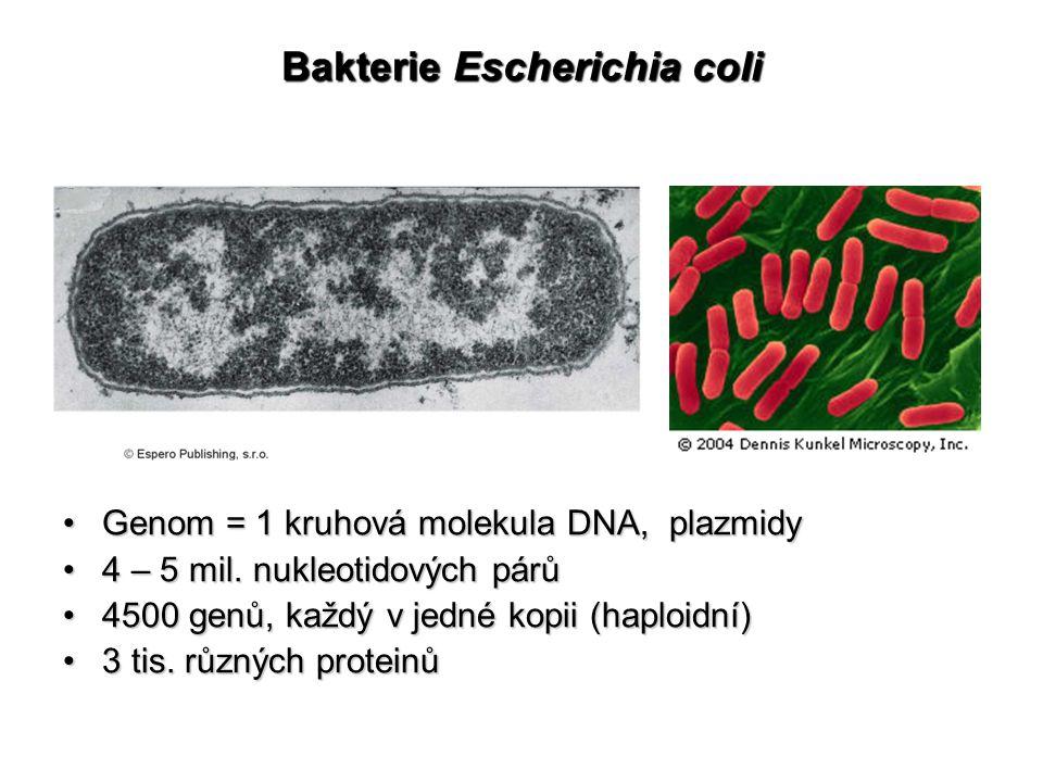 Bakterie Escherichia coli