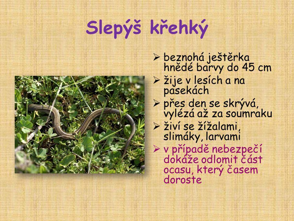 Slepýš křehký beznohá ještěrka hnědé barvy do 45 cm
