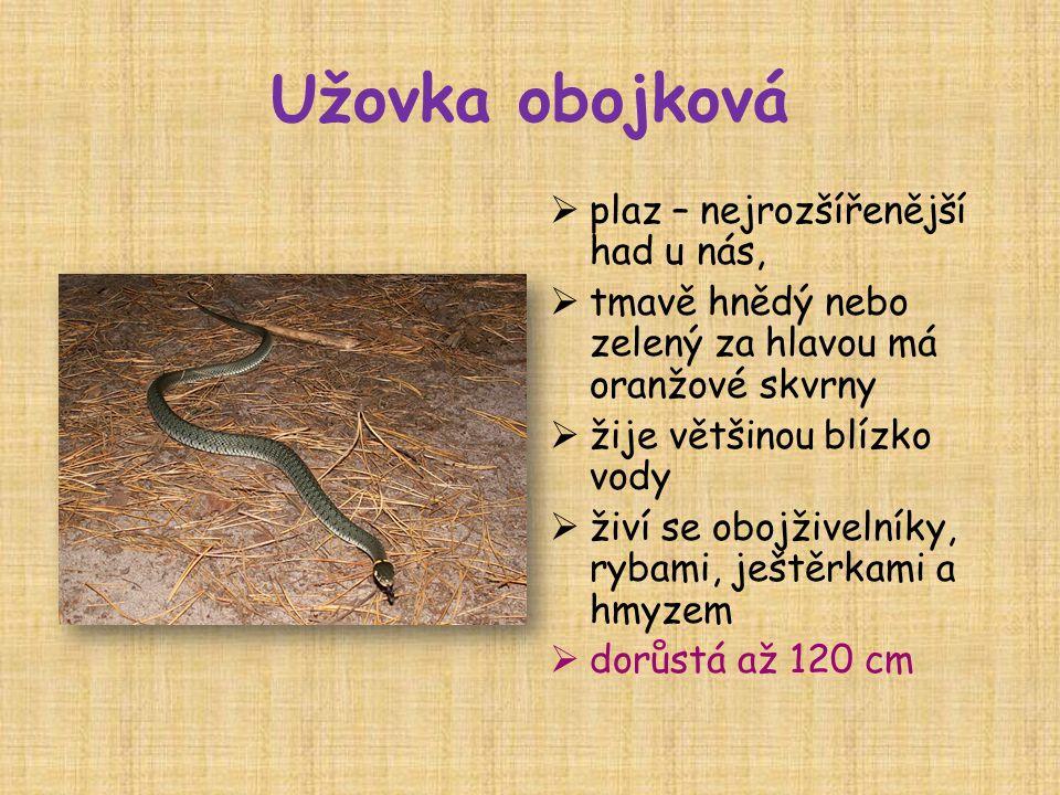 Užovka obojková plaz – nejrozšířenější had u nás,