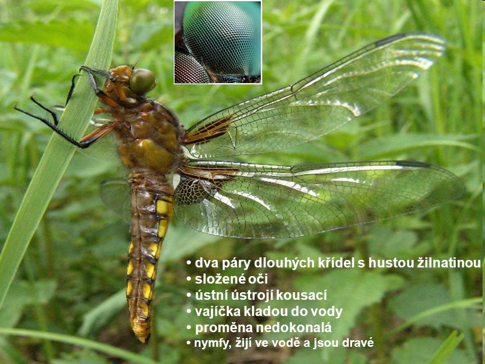 • dva páry dlouhých křídel s hustou žilnatinou • složené oči