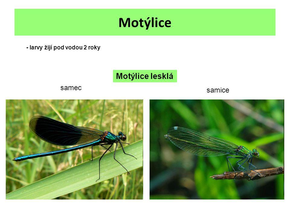 Motýlice - larvy žijí pod vodou 2 roky Motýlice lesklá samec samice