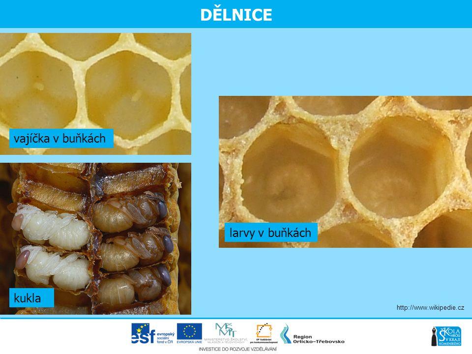 DĚLNICE vajíčka v buňkách larvy v buňkách kukla
