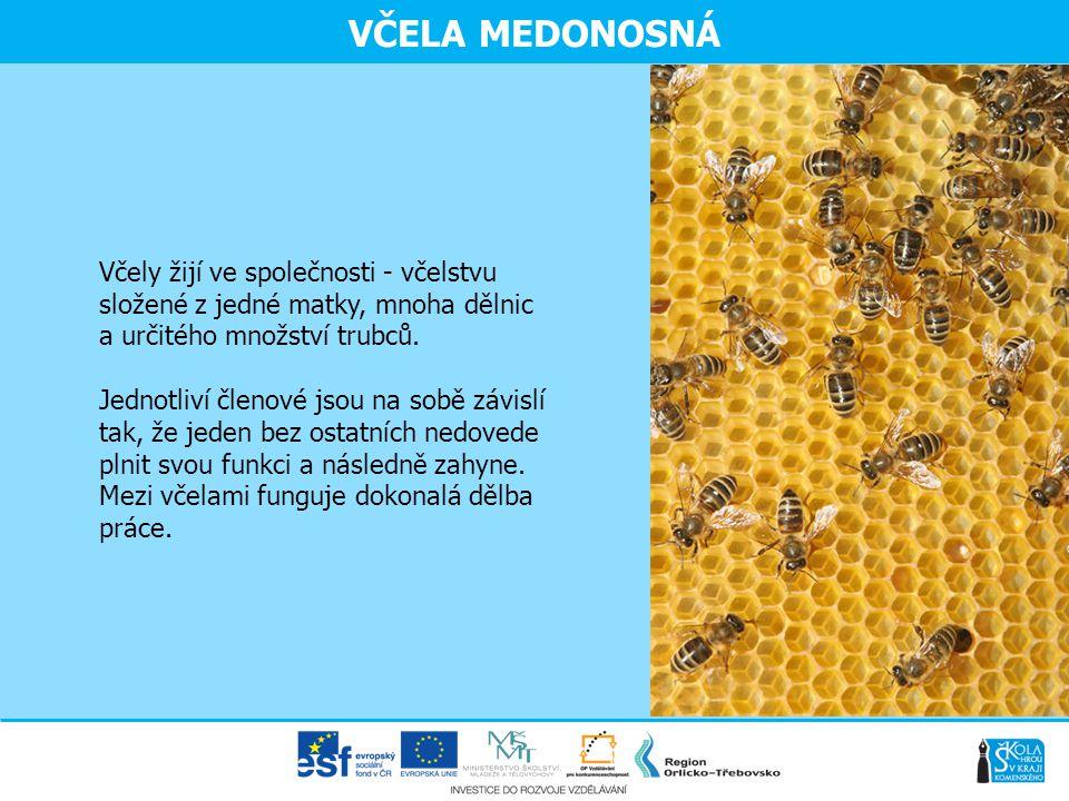 VČELA MEDONOSNÁ Včely žijí ve společnosti - včelstvu složené z jedné matky, mnoha dělnic a určitého množství trubců.