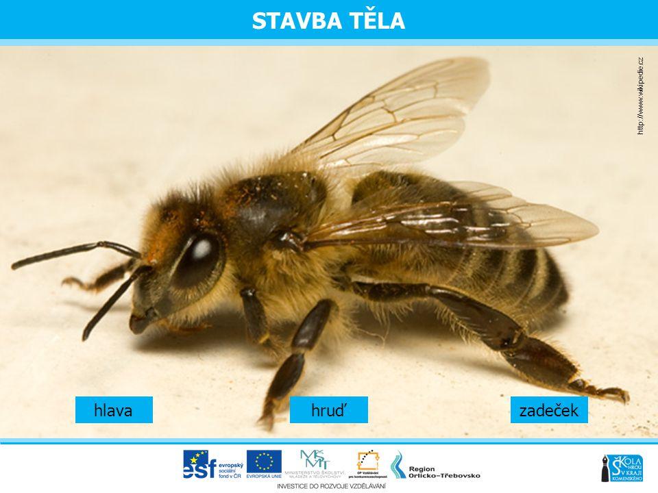 STAVBA TĚLA http://www.wikipedie.cz hlava hruď zadeček