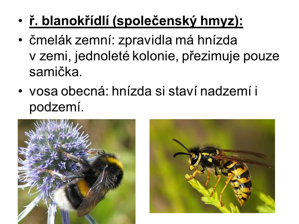 ř. blanokřídlí (společenský hmyz):