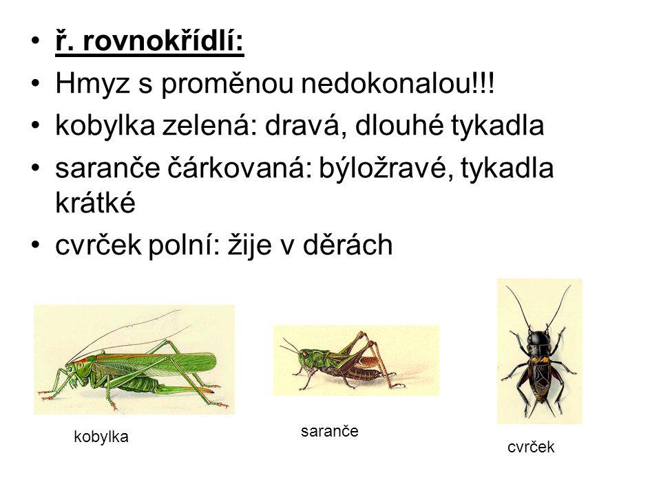 Hmyz s proměnou nedokonalou!!! kobylka zelená: dravá, dlouhé tykadla