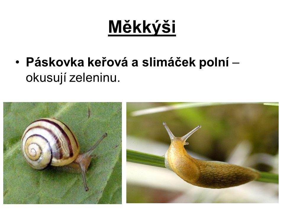 Měkkýši Páskovka keřová a slimáček polní – okusují zeleninu.
