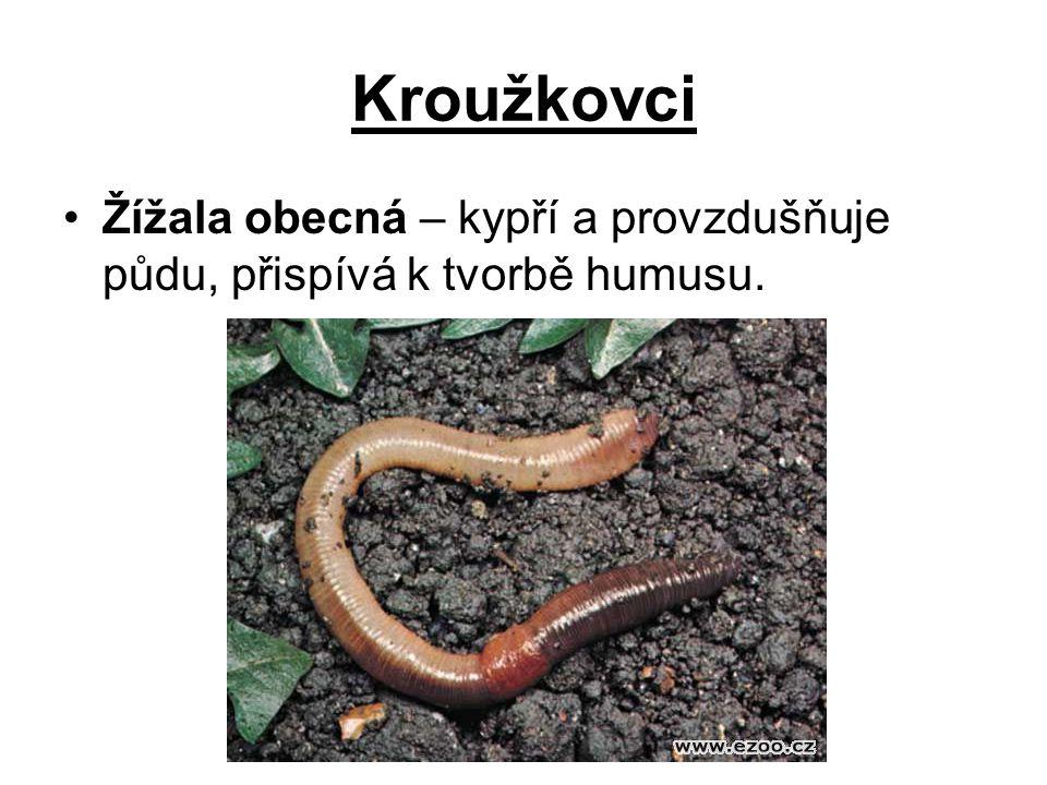 Kroužkovci Žížala obecná – kypří a provzdušňuje půdu, přispívá k tvorbě humusu.