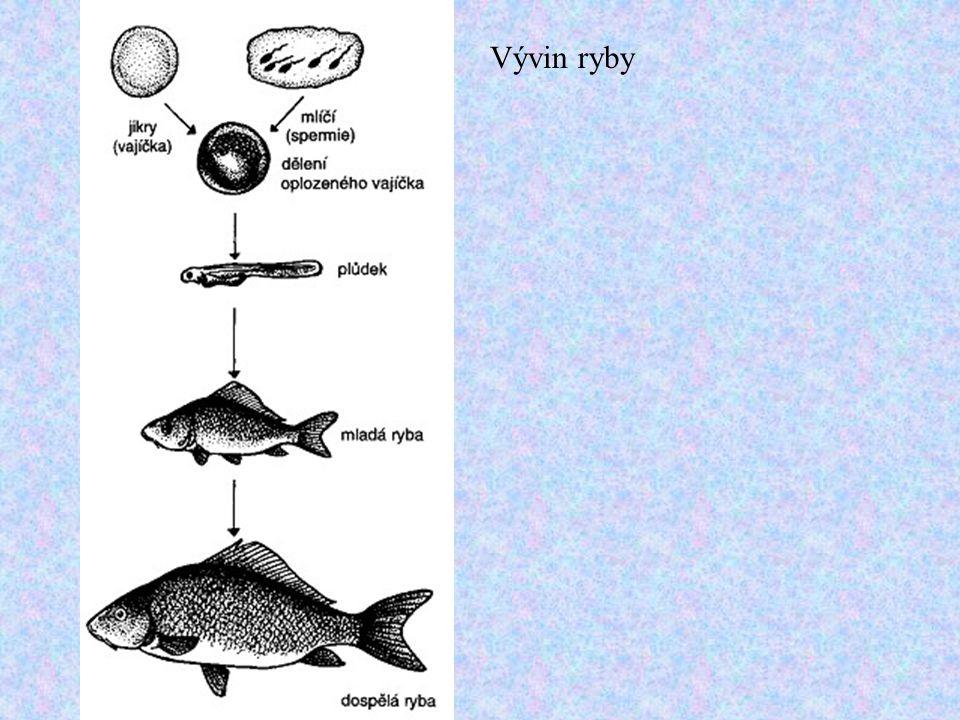 Vývin ryby