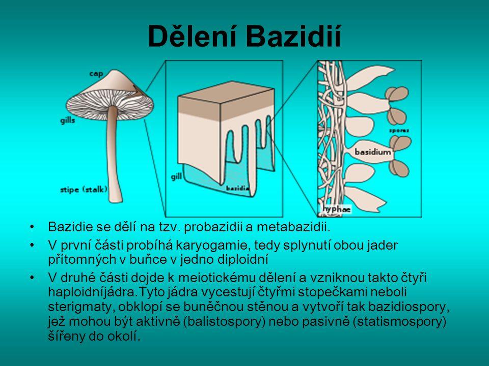 Dělení Bazidií Bazidie se dělí na tzv. probazidii a metabazidii.