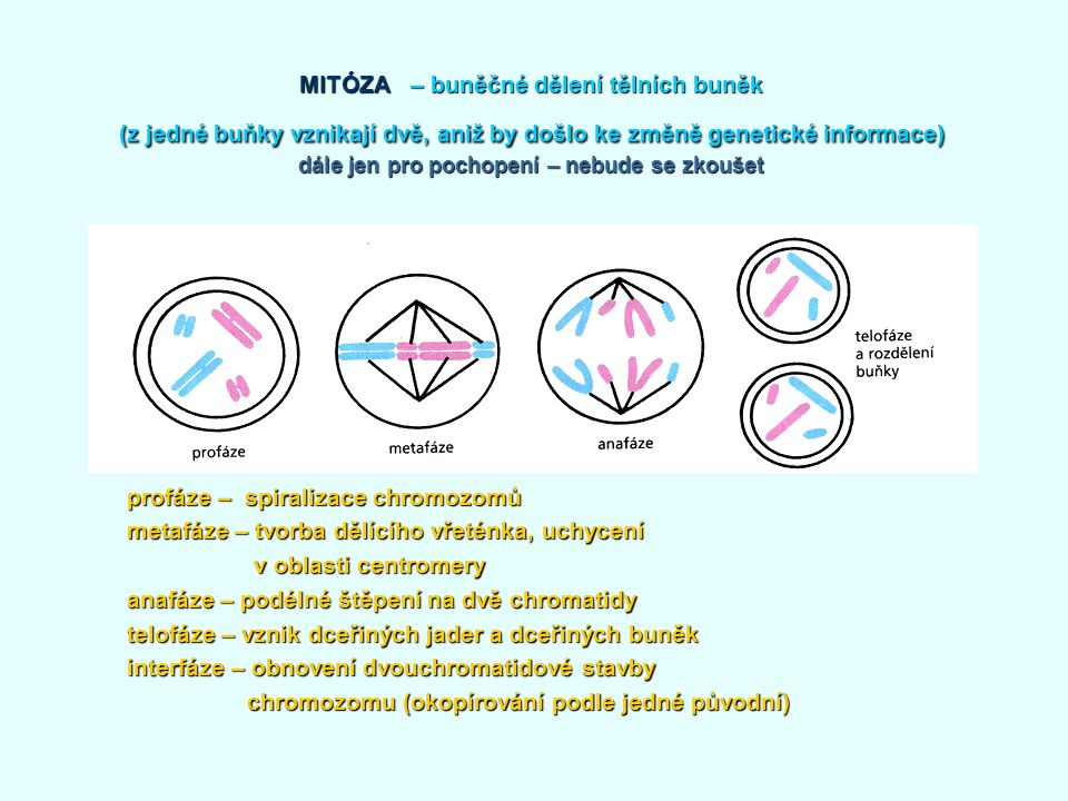 MITÓZA – buněčné dělení tělních buněk (z jedné buňky vznikají dvě, aniž by došlo ke změně genetické informace) dále jen pro pochopení – nebude se zkoušet