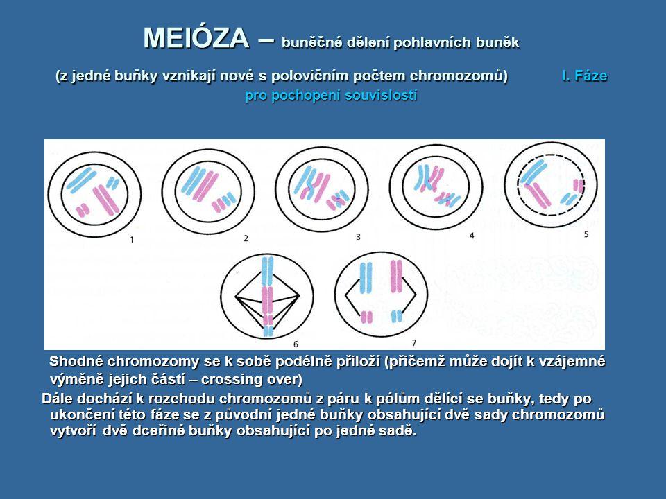 MEIÓZA – buněčné dělení pohlavních buněk (z jedné buňky vznikají nové s polovičním počtem chromozomů) I. Fáze pro pochopení souvislostí