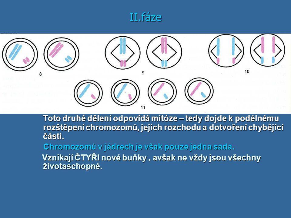 II.fáze Toto druhé dělení odpovídá mitóze – tedy dojde k podélnému rozštěpení chromozomů, jejich rozchodu a dotvoření chybějící části.