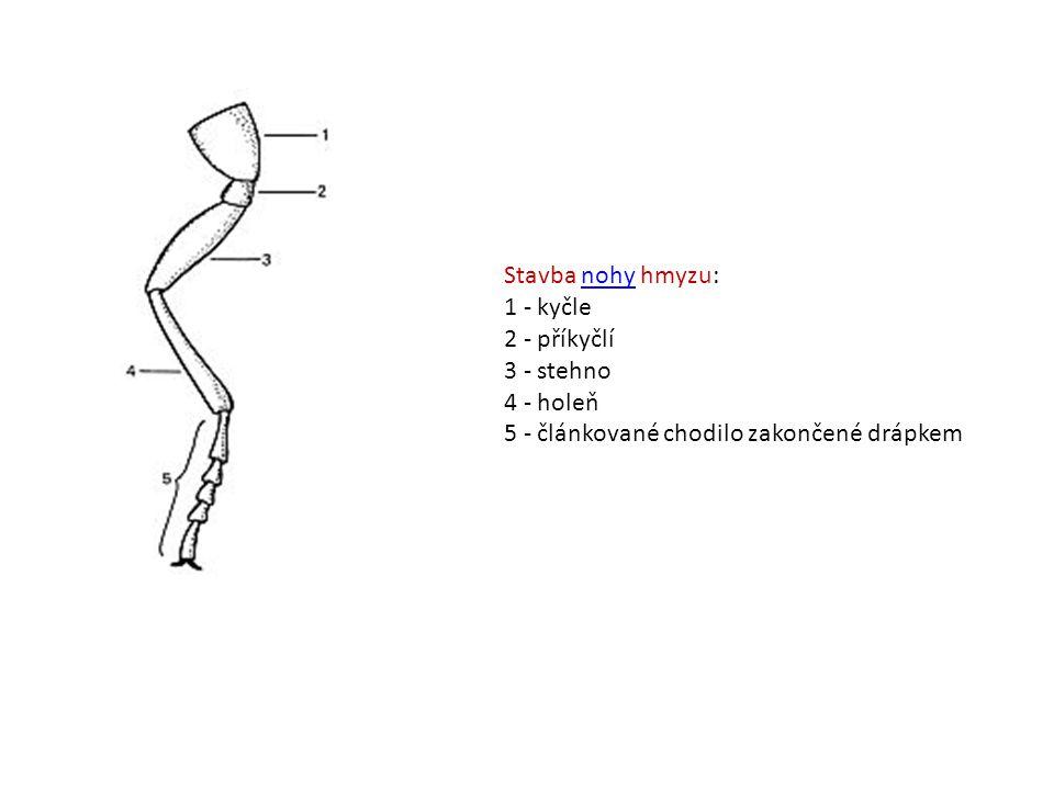 Stavba nohy hmyzu: 1 - kyčle 2 - příkyčlí 3 - stehno 4 - holeň 5 - článkované chodilo zakončené drápkem