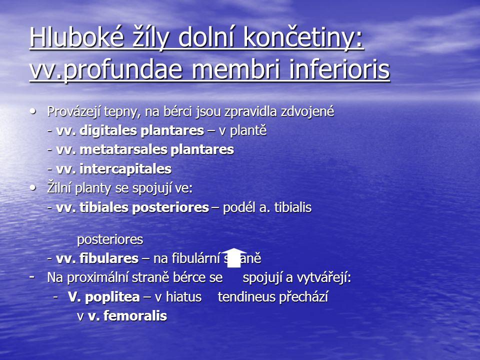 Hluboké žíly dolní končetiny: vv.profundae membri inferioris