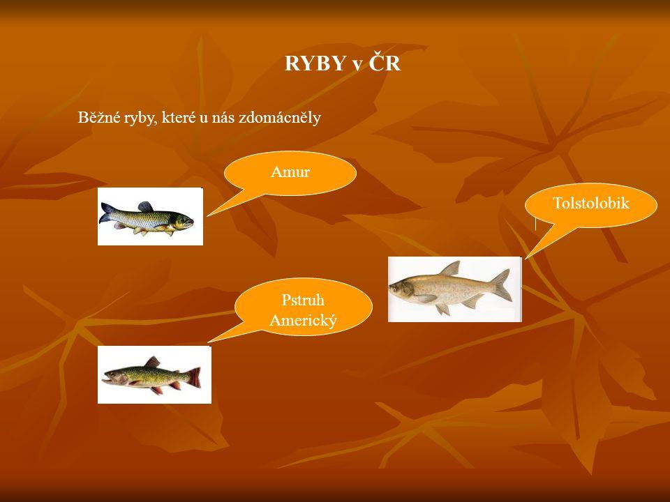 RYBY v ČR Běžné ryby, které u nás zdomácněly Amur Tolstolobik