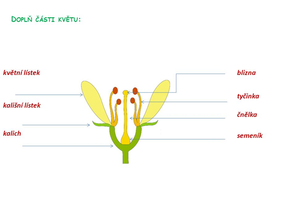 Doplň části květu: květní lístek blizna tyčinka kališní lístek čnělka kalich semeník