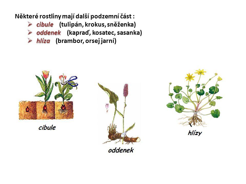 Některé rostliny mají další podzemní část :